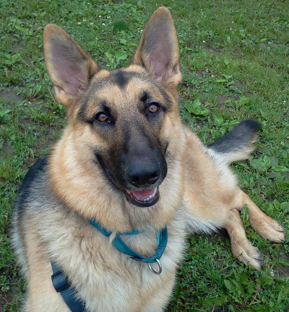 My German Shepherd, Harley.