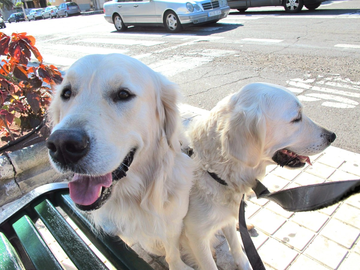 White golden retrievers