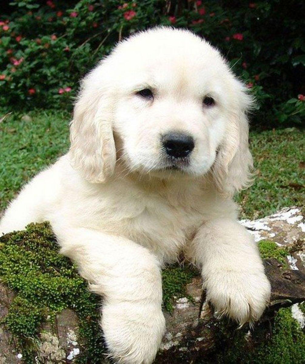 English cream golden retriever puppies tend to darken in color as they grow.