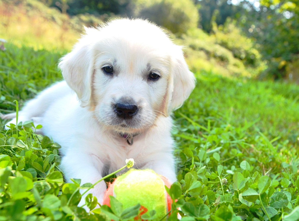 White retriever puppy