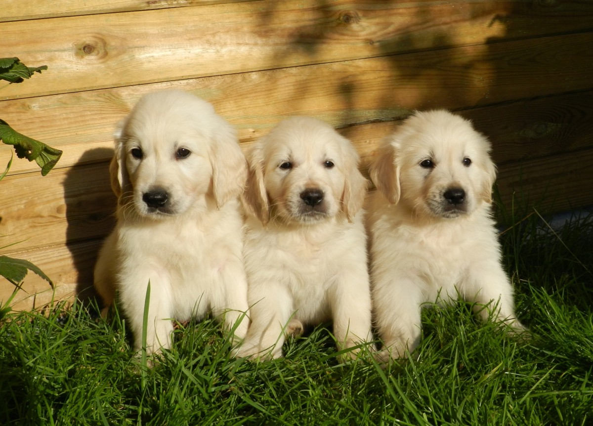 The Truth About English Cream White Golden Retrievers Pethelpful By Fellow Animal Lovers And Experts