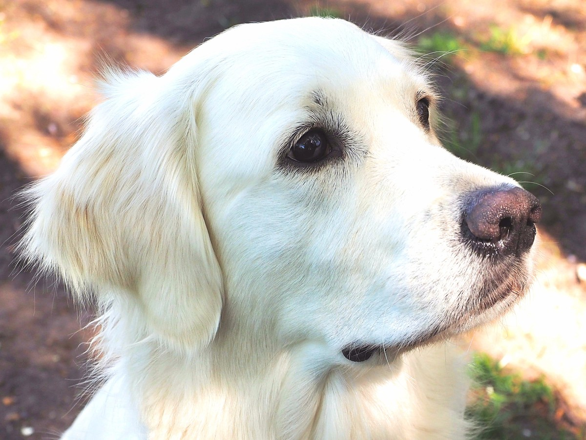 The Truth About English Cream White Golden Retrievers Pethelpful
