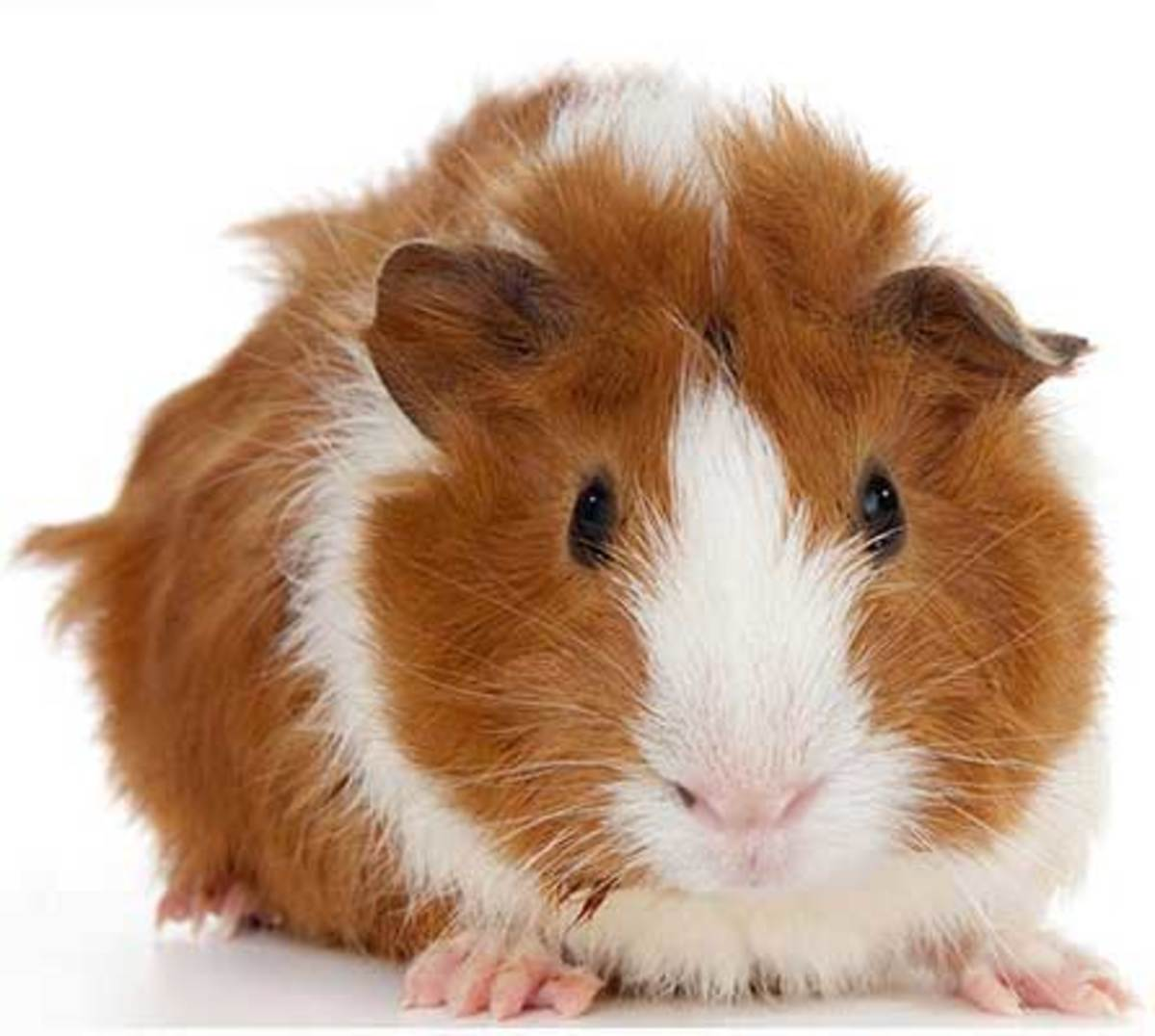 how-much-do-guinea-pigs-cost