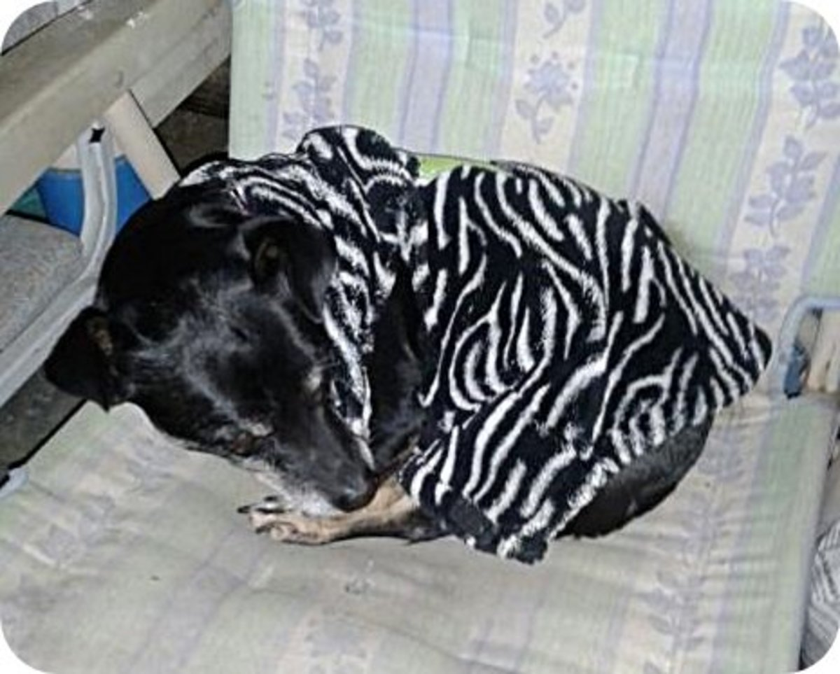 Getting ready for a nap in his un-snapped ill-fitting sweater; the arm holes are too far back and the collar fits low on the back of his neck.