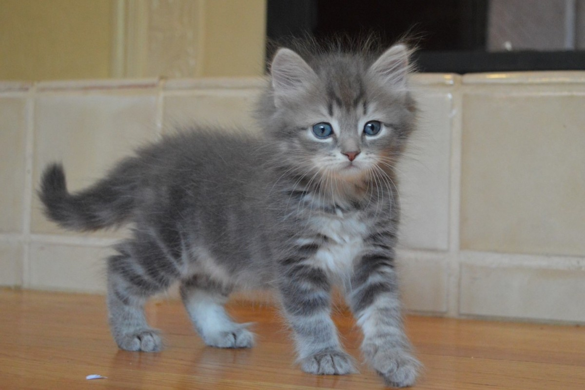 A Siberian Forest Kitten: These cats are beautiful, friendly and intelligent.