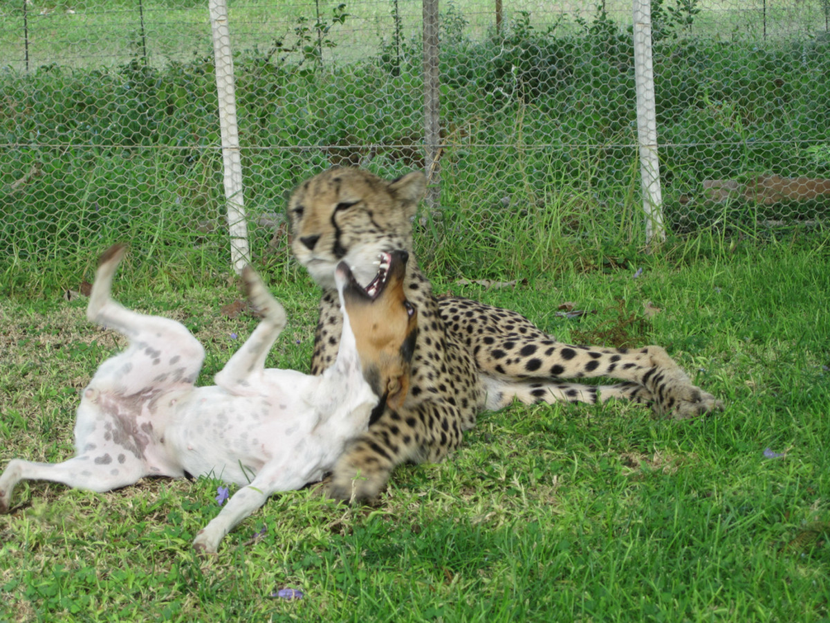A Cheetah and Domesticated Dog at Play
