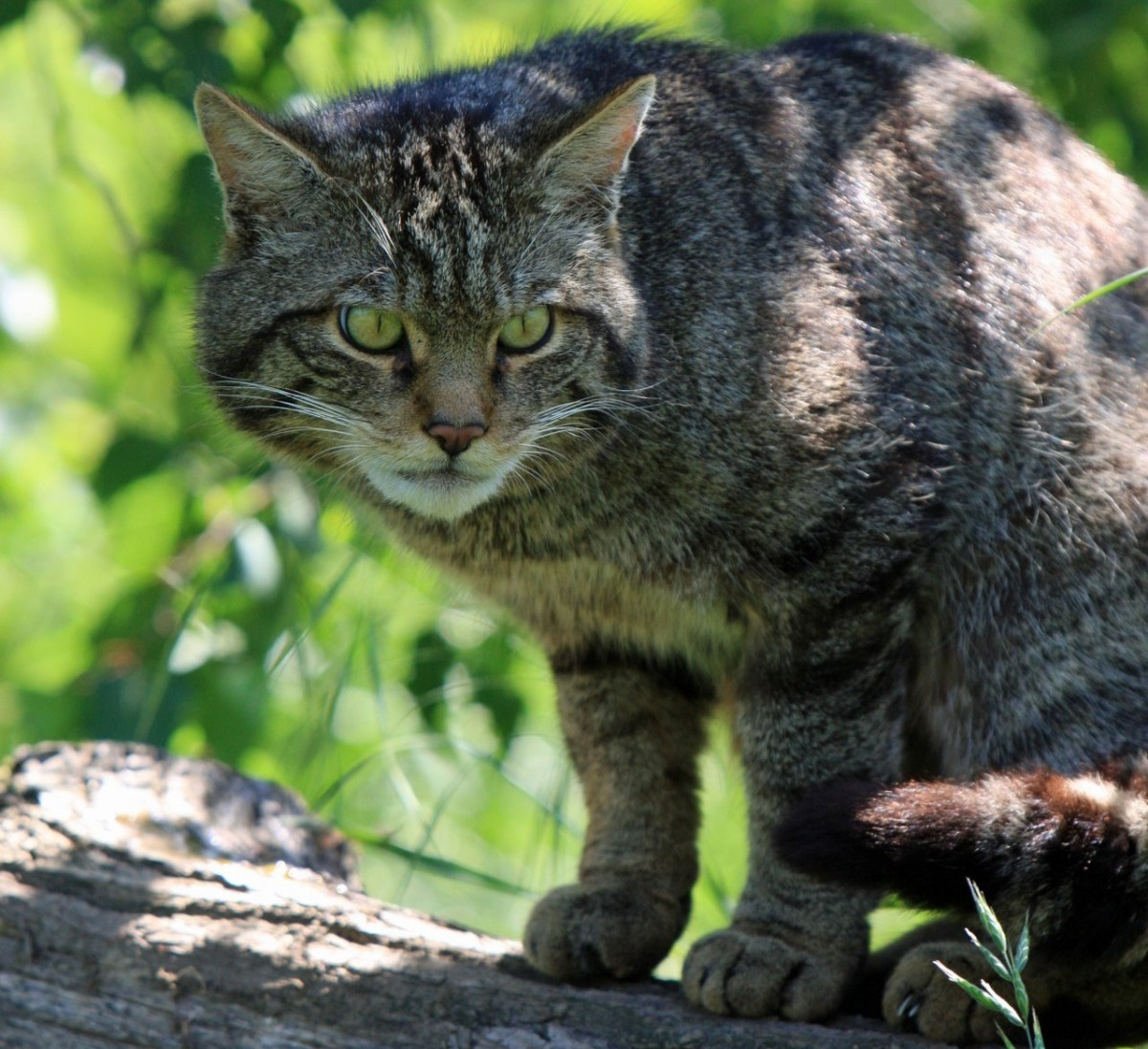 """A Scottish wild cat on branch (this is also a """"wild"""" animal)."""