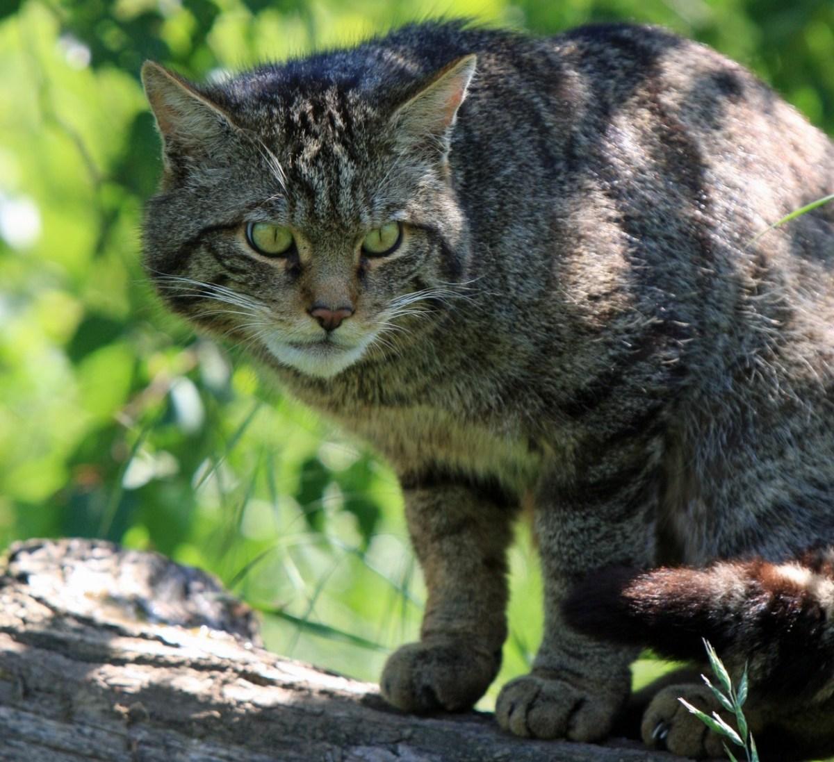 Scottish wild cat on branch