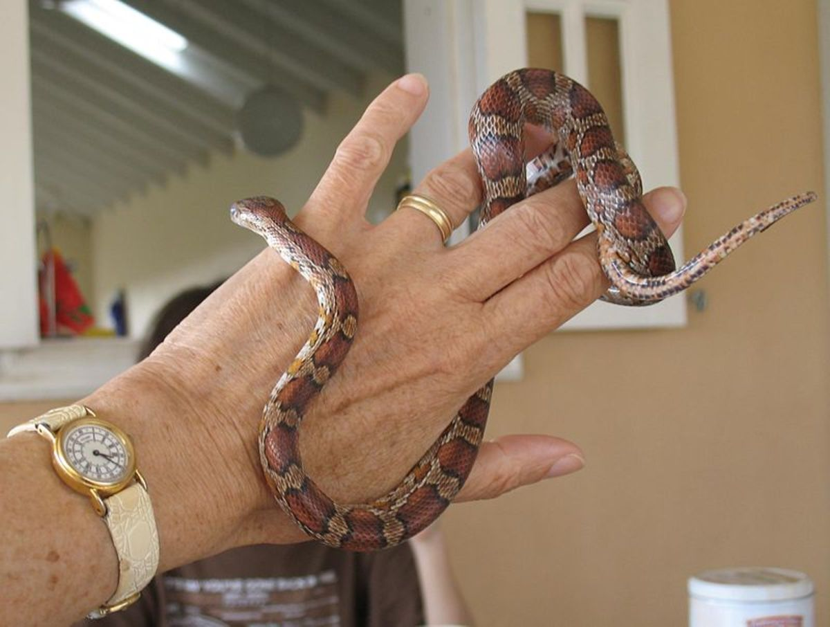 A young corn snake. Corn snakes are generally happy to be handled and easy to tame.
