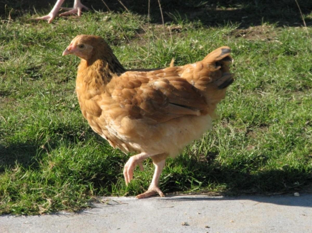 chicken-addiction-and-the-urban-chicken-owner