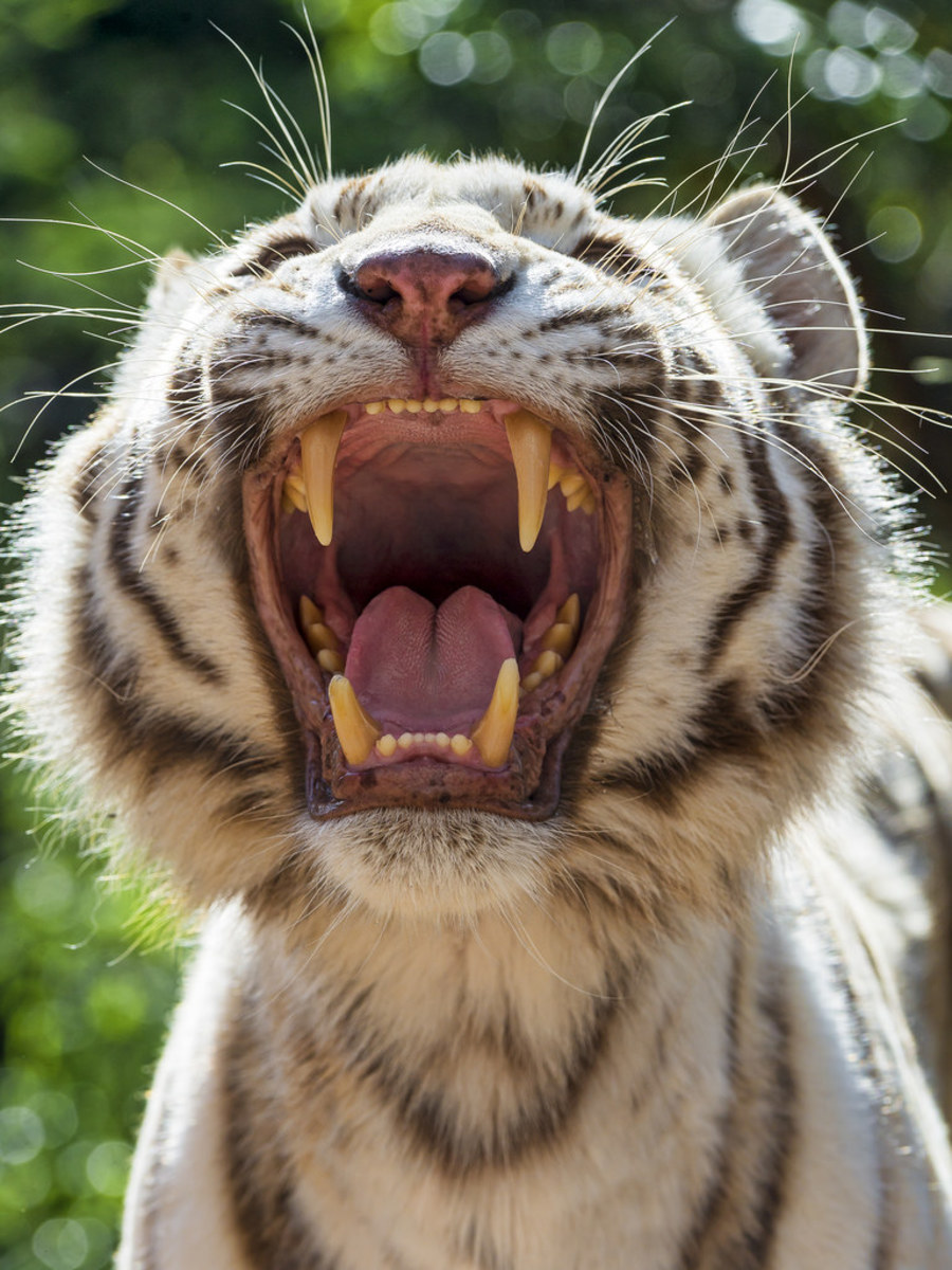 White tiger shows off teeth
