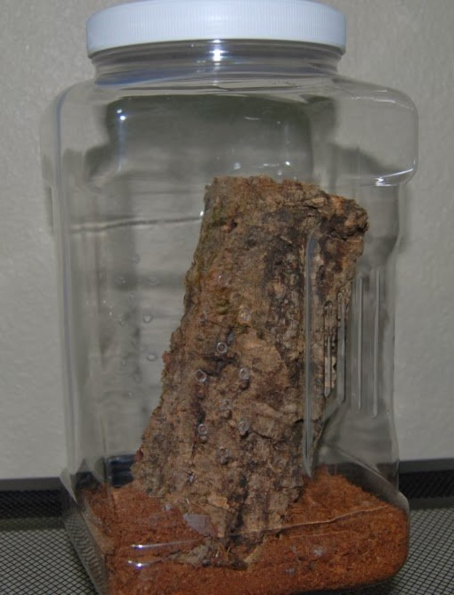 A 1-gallon canister from Wal-Mart makes an excellent home for young tarantulas.