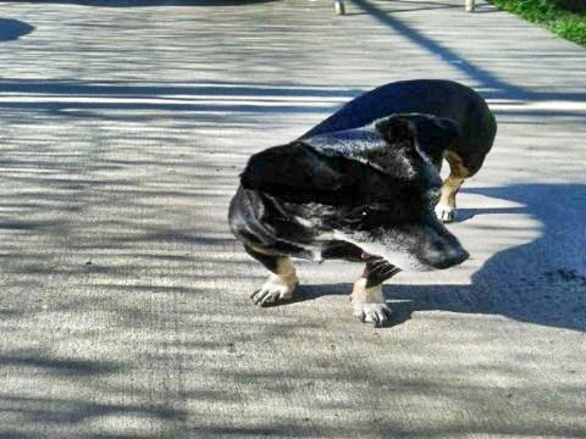 dog-seizures-or-syncope