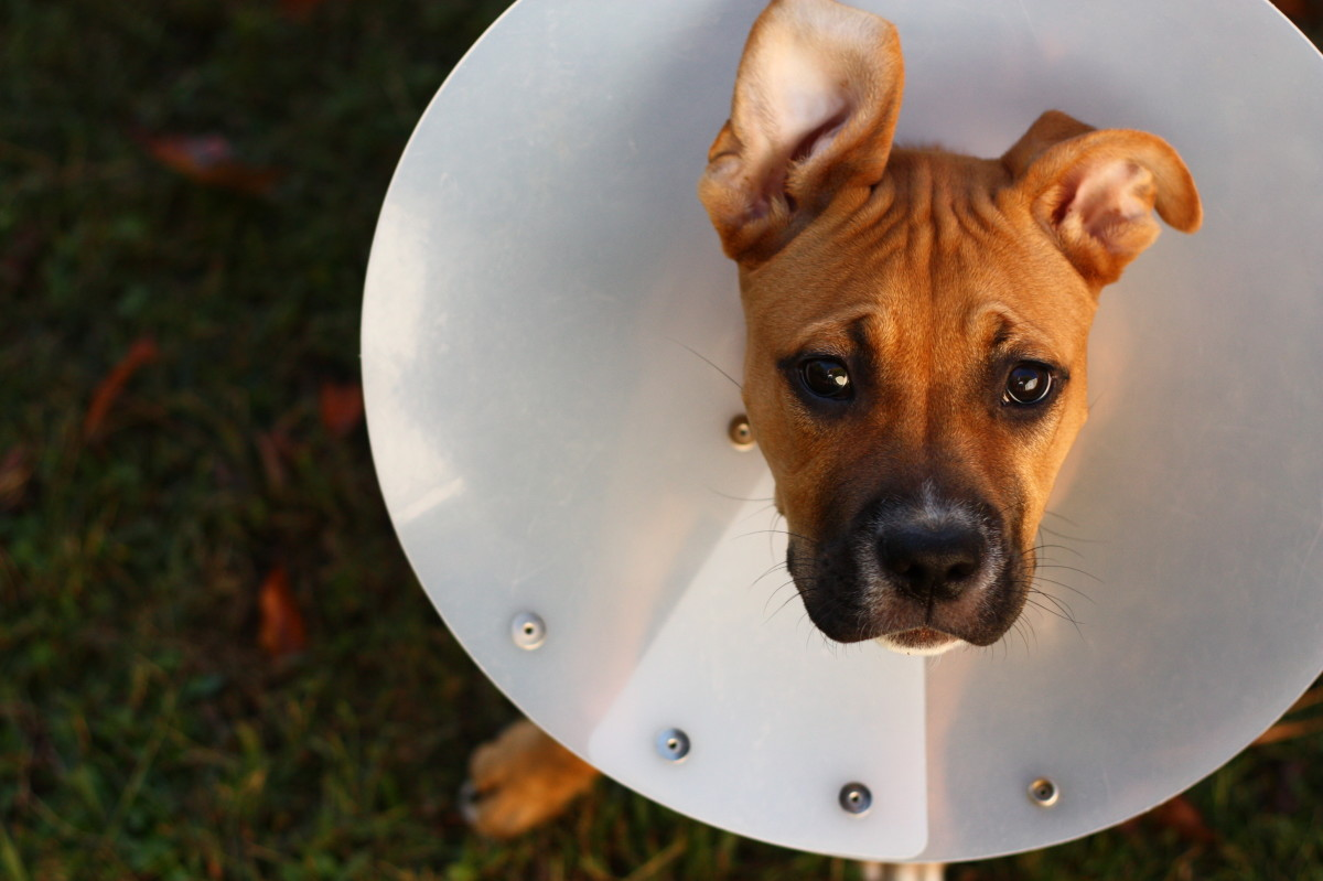Keeping an e-collar on your dog is the best way to prevent post-operative complications.