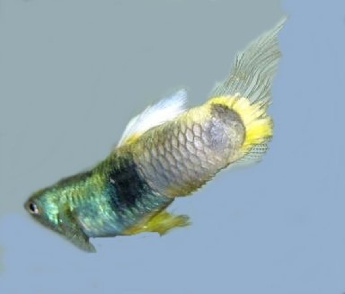 13 common betta fish diseases with photos prevention for Betta fish diseases