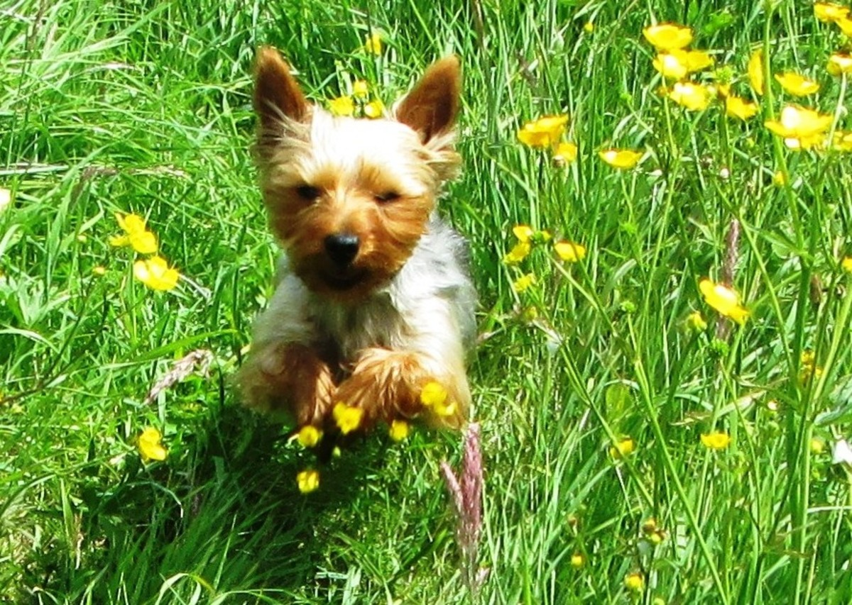 My Yorkshire Terrier Lexie