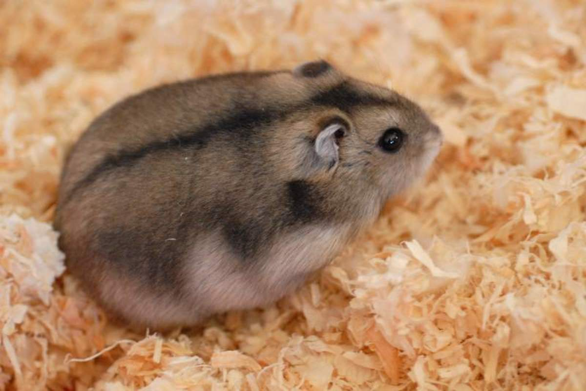 Uterine Problems in Hamsters: Signs, Symptoms, Treatment and