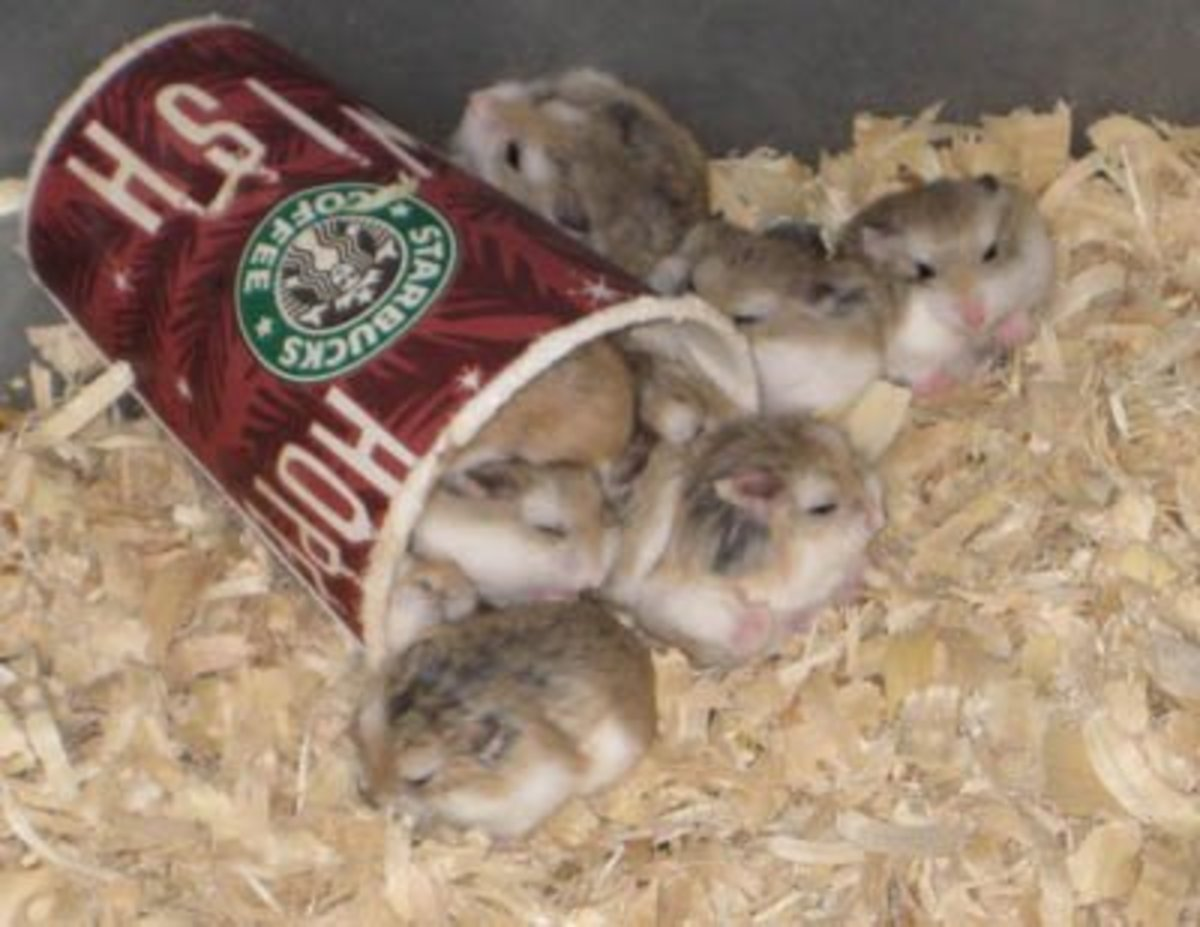 Hamsters repurposing a clean coffee cup as a napping spot.