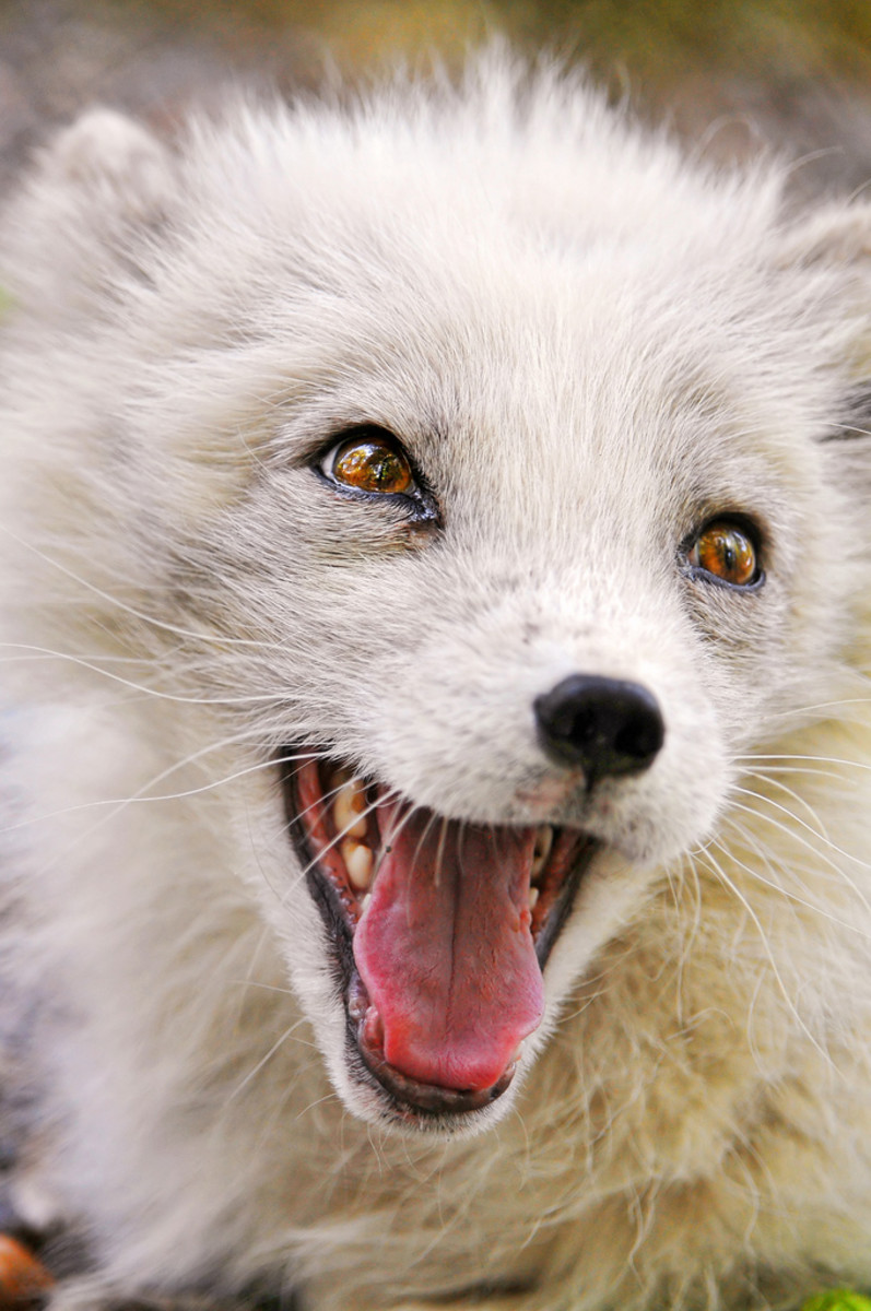 Arctic Fox Smiling