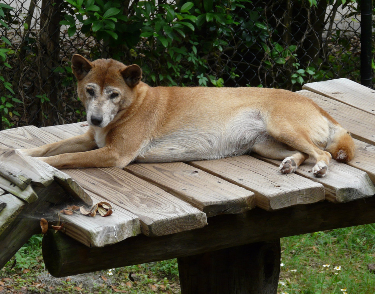 A New Guinea singing dog