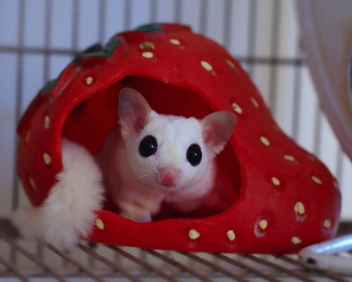 In some territories, it is illegal to own a sugar glider.