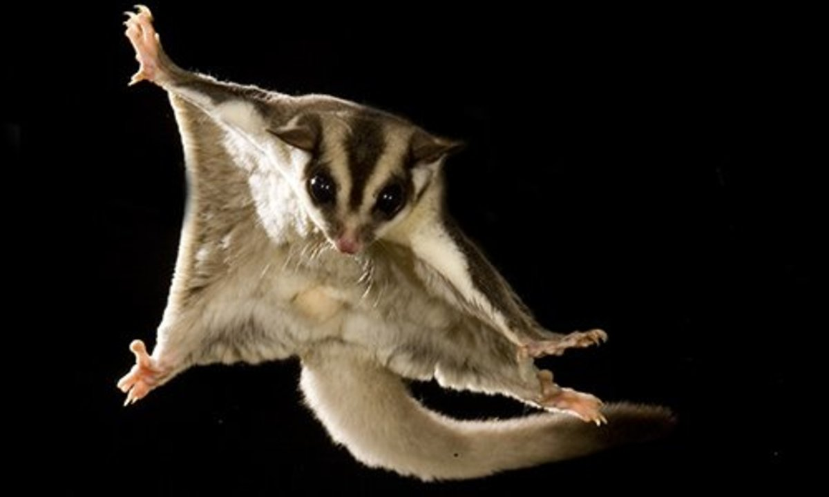 Sugar gliders require ample amounts of space in their cage.