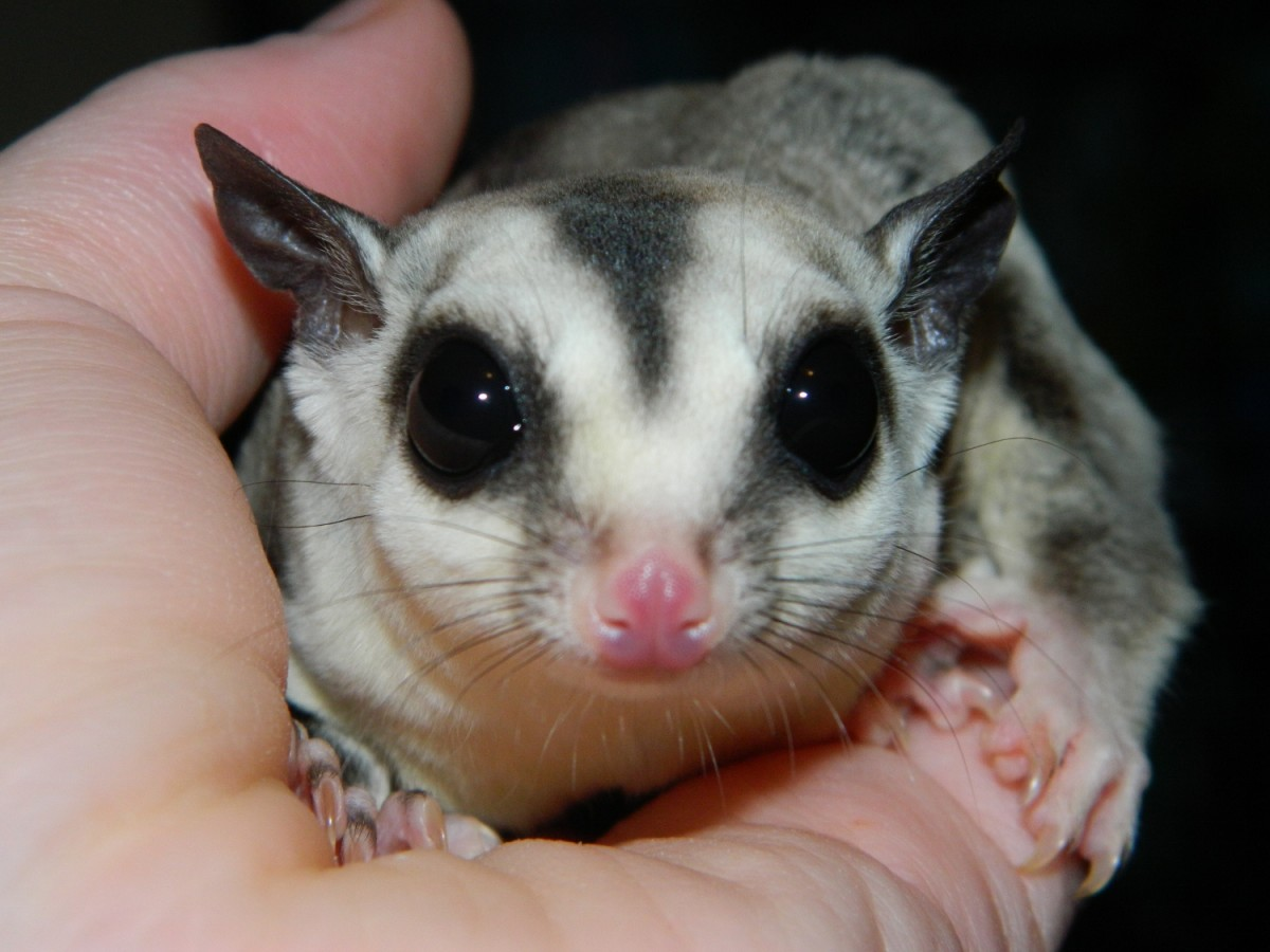 Most vets will be unable to treat your sugar glider.