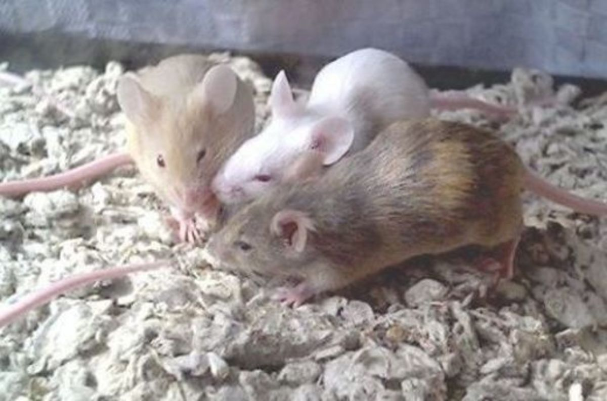 health-problems-in-pet-mice