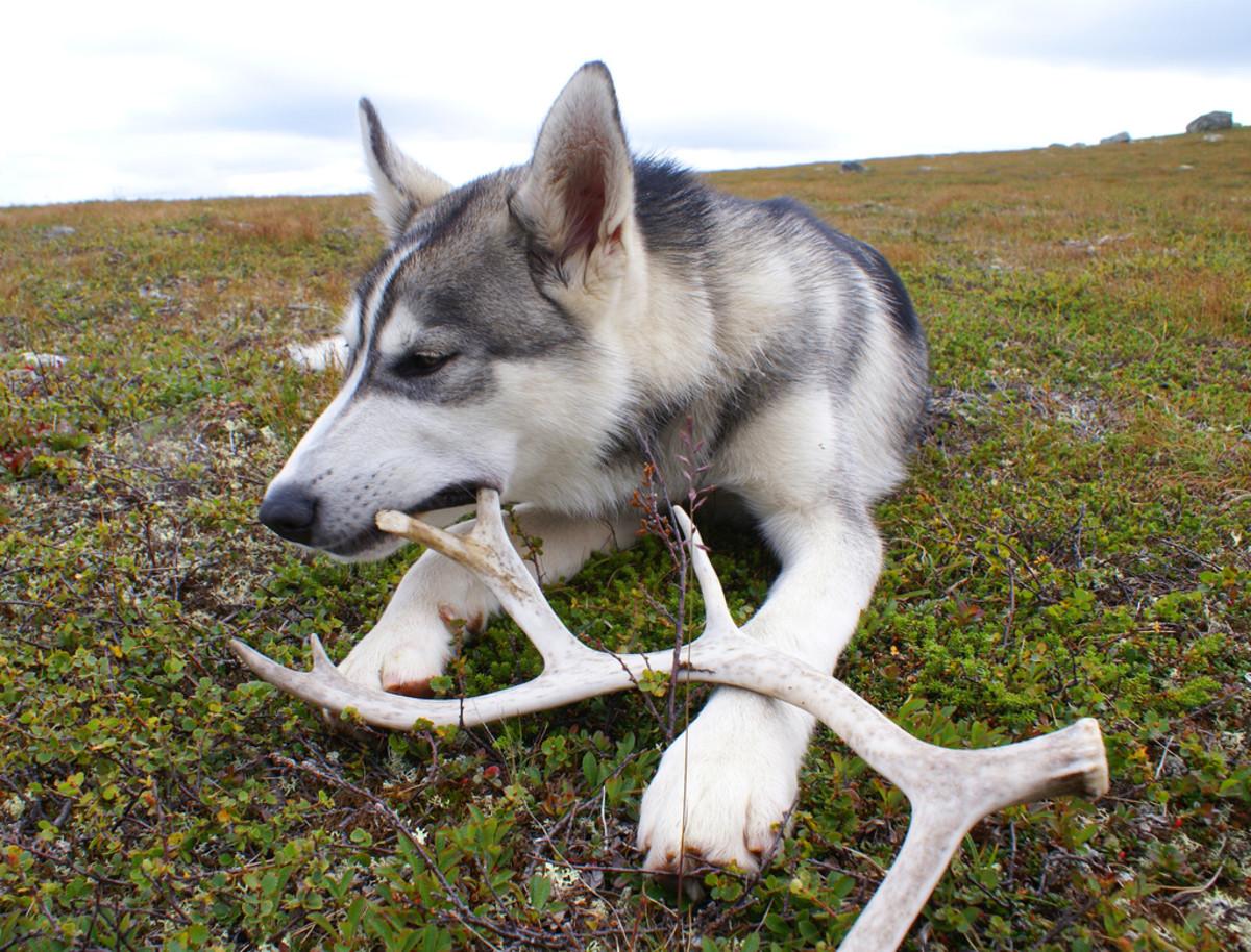 raw-bones-antlers