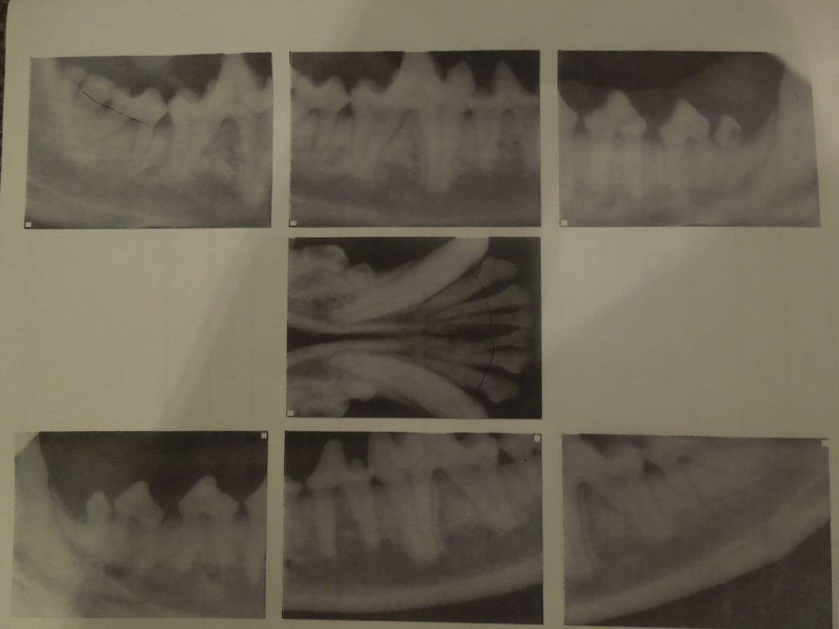 These x-rays show receding tissue in my dog.