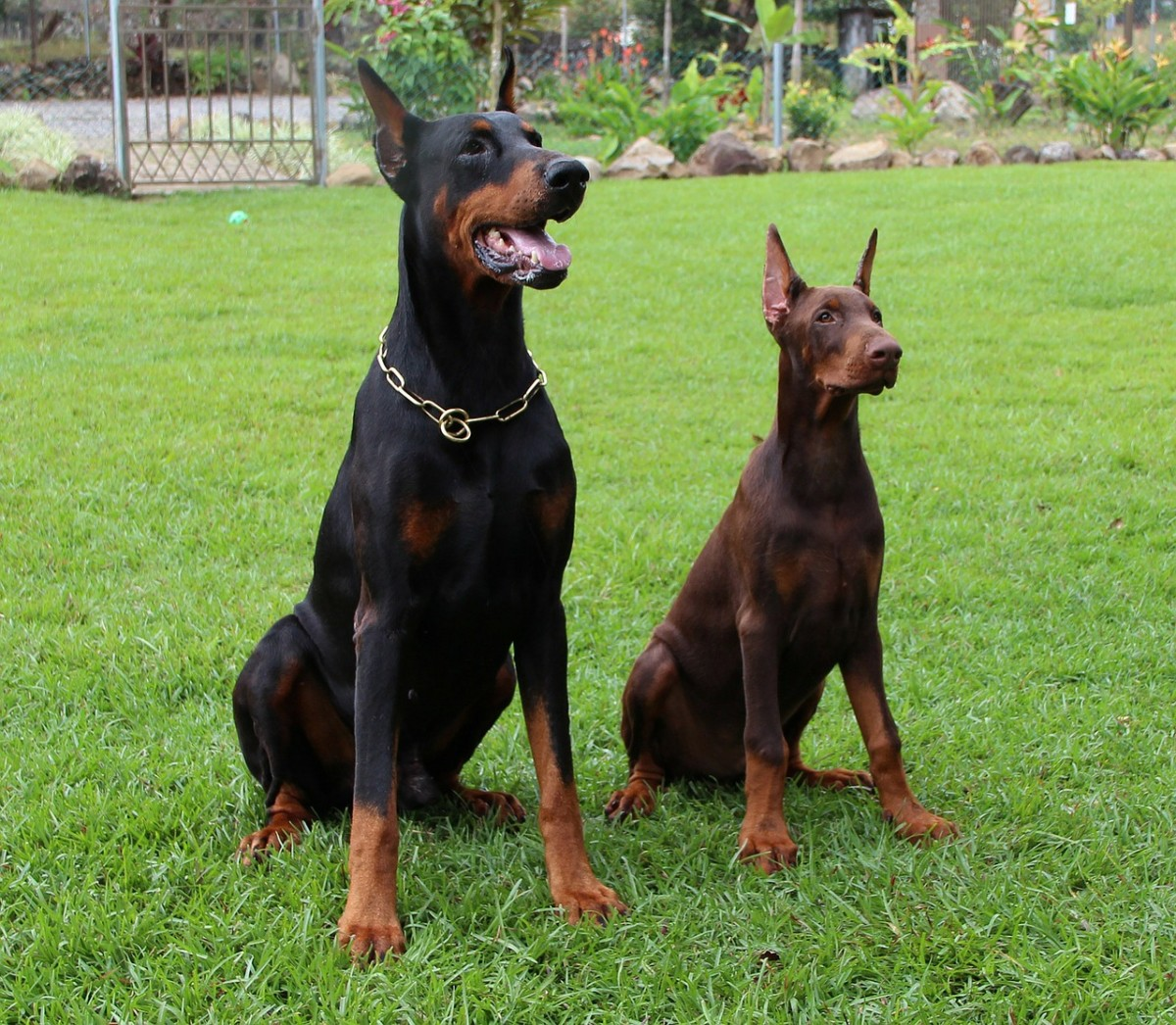 Dilated cardiomyopathy is more common in the Doberman Pinscher
