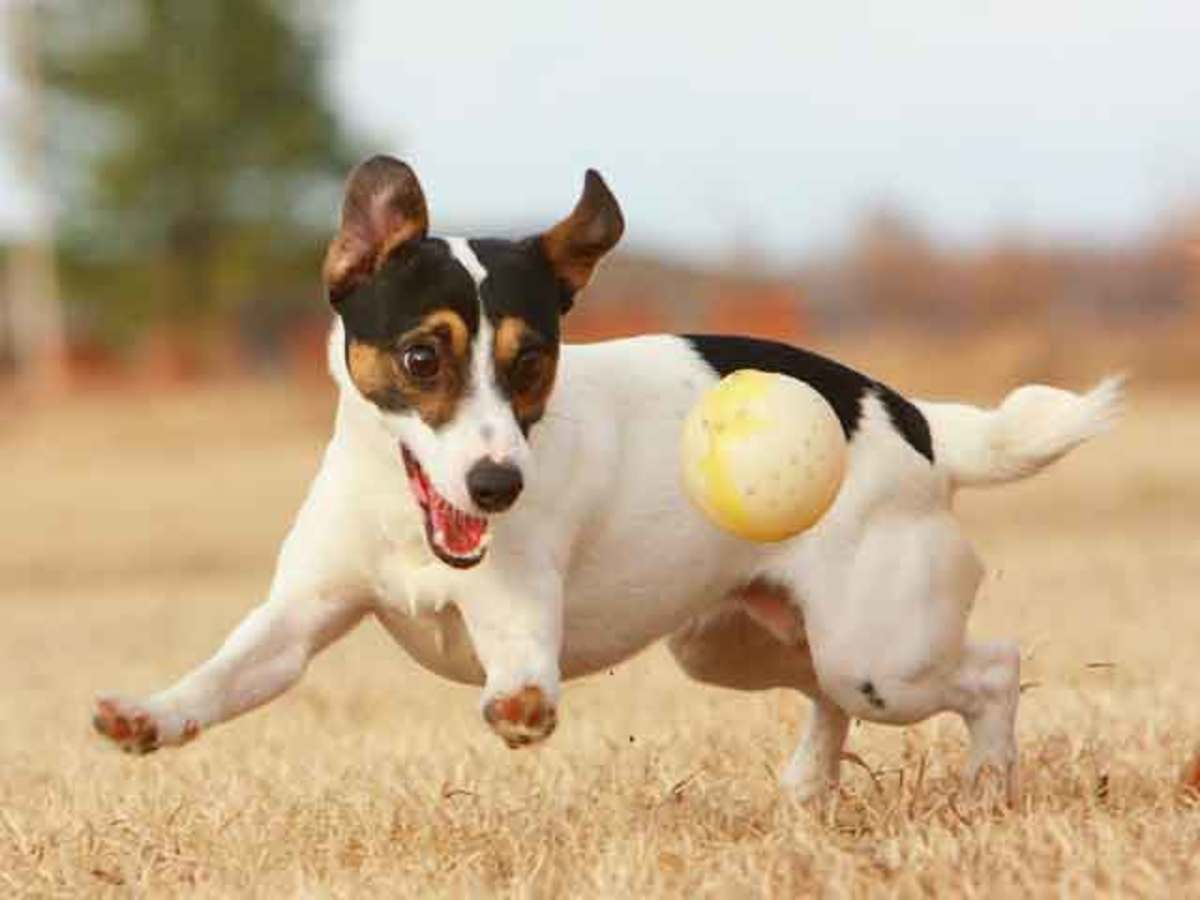 Things to Consider Before Getting a Jack Russell Terrier