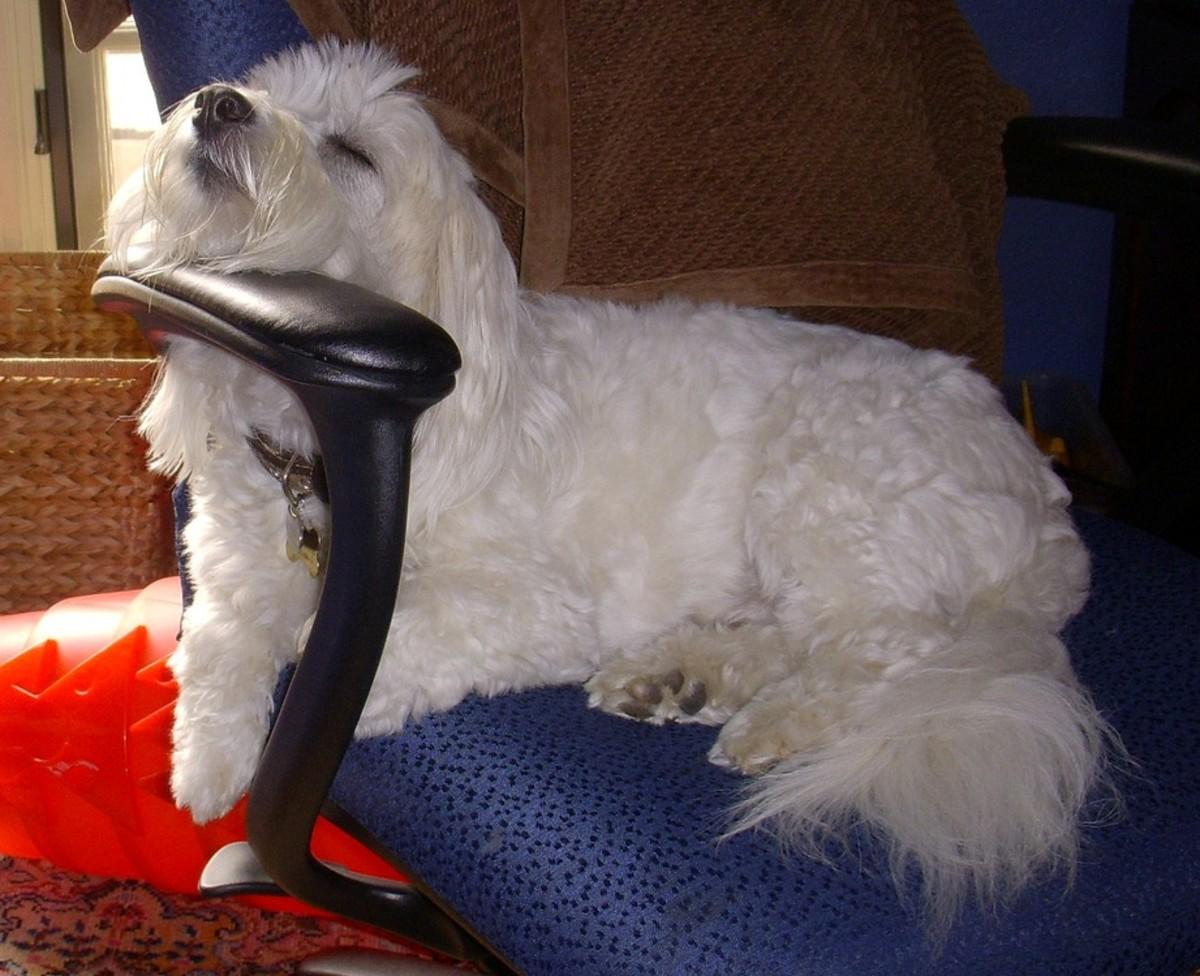 A Coton de Tulear relaxing at home.
