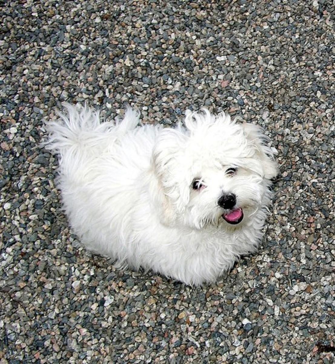 A young Coton de Tuléar dog.
