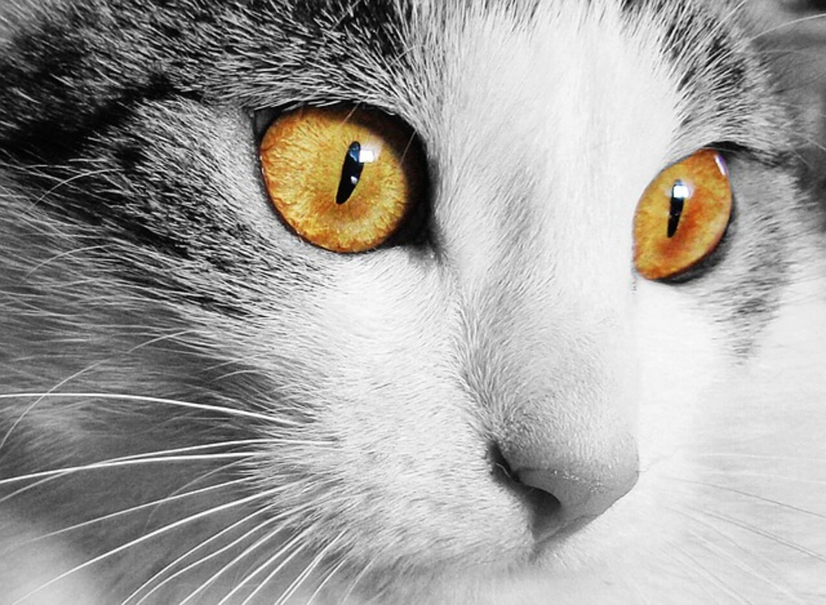 Be sure to examine your cat's eyes once in awhile for signs of infection.