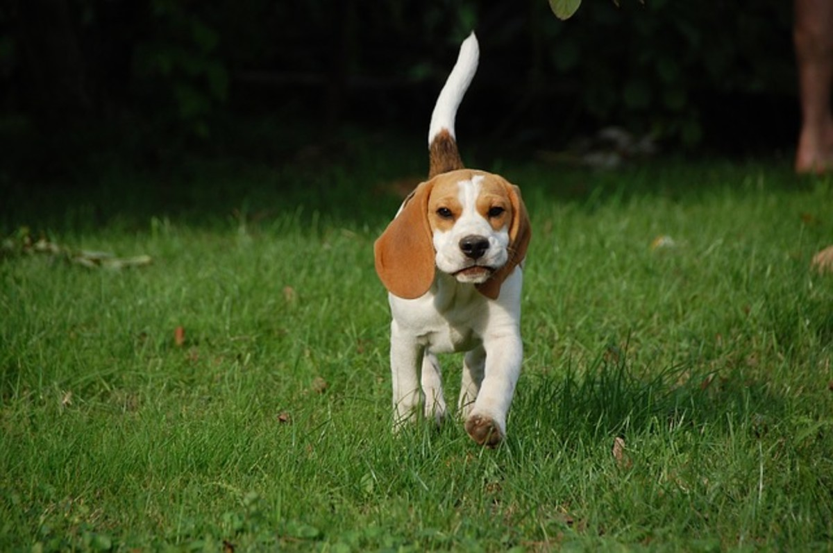 The Beagle was the most popular dog breed of the 1950s.