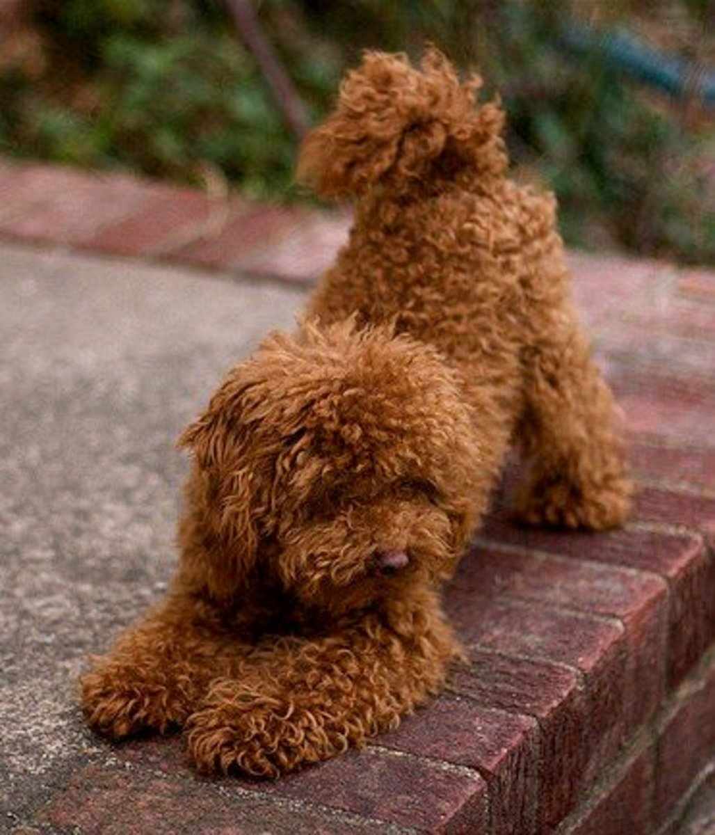 Poodles became the most popular dog after 1960.
