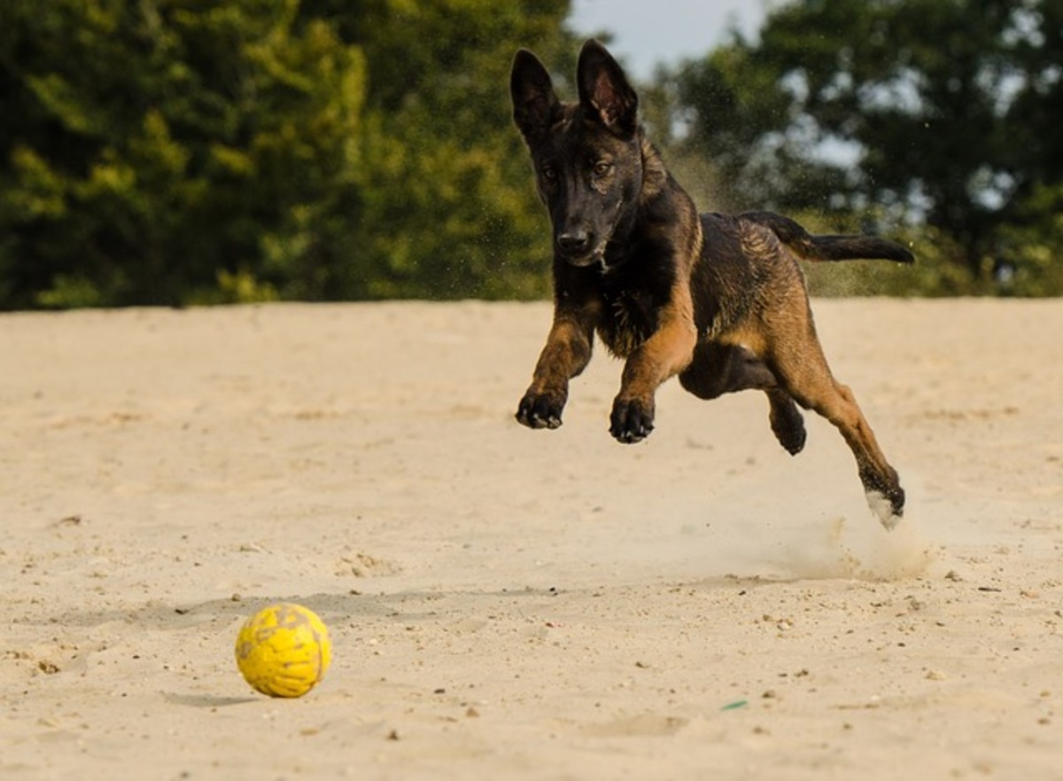 Playing catch can be one of the best ways your dog can burn excessive calories.