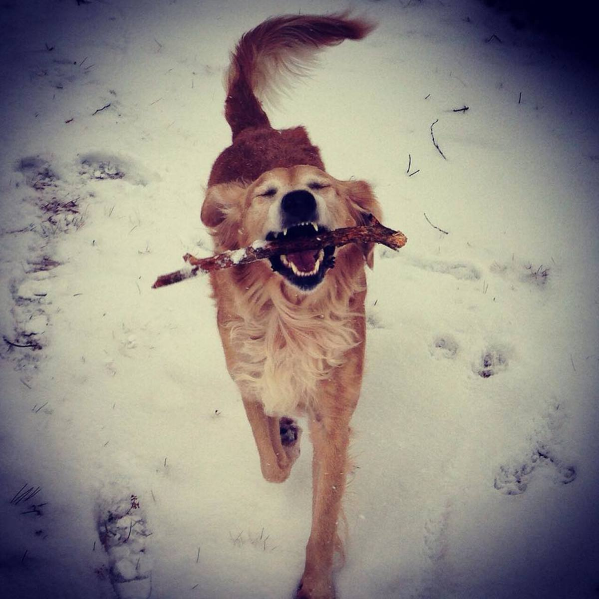 Few things make a Golden happier than a game of fetch.