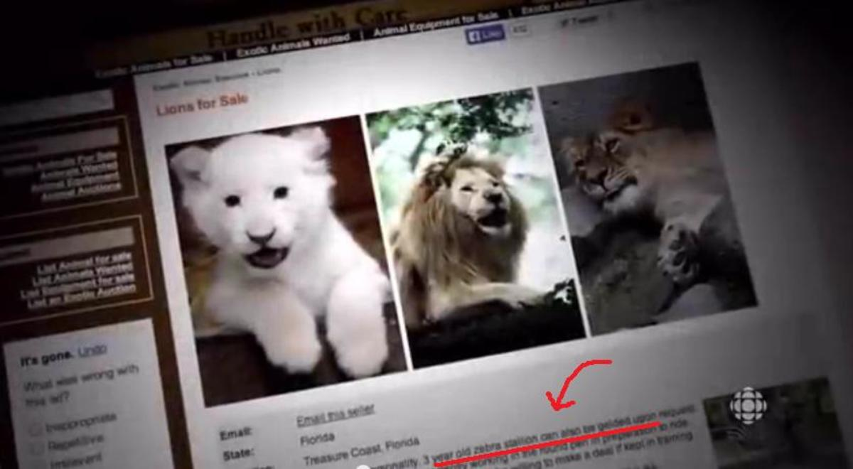 Big cats are rarely offered for sale to non-licensed individuals. The doc makers couldn't even find a legit ad for a lion.