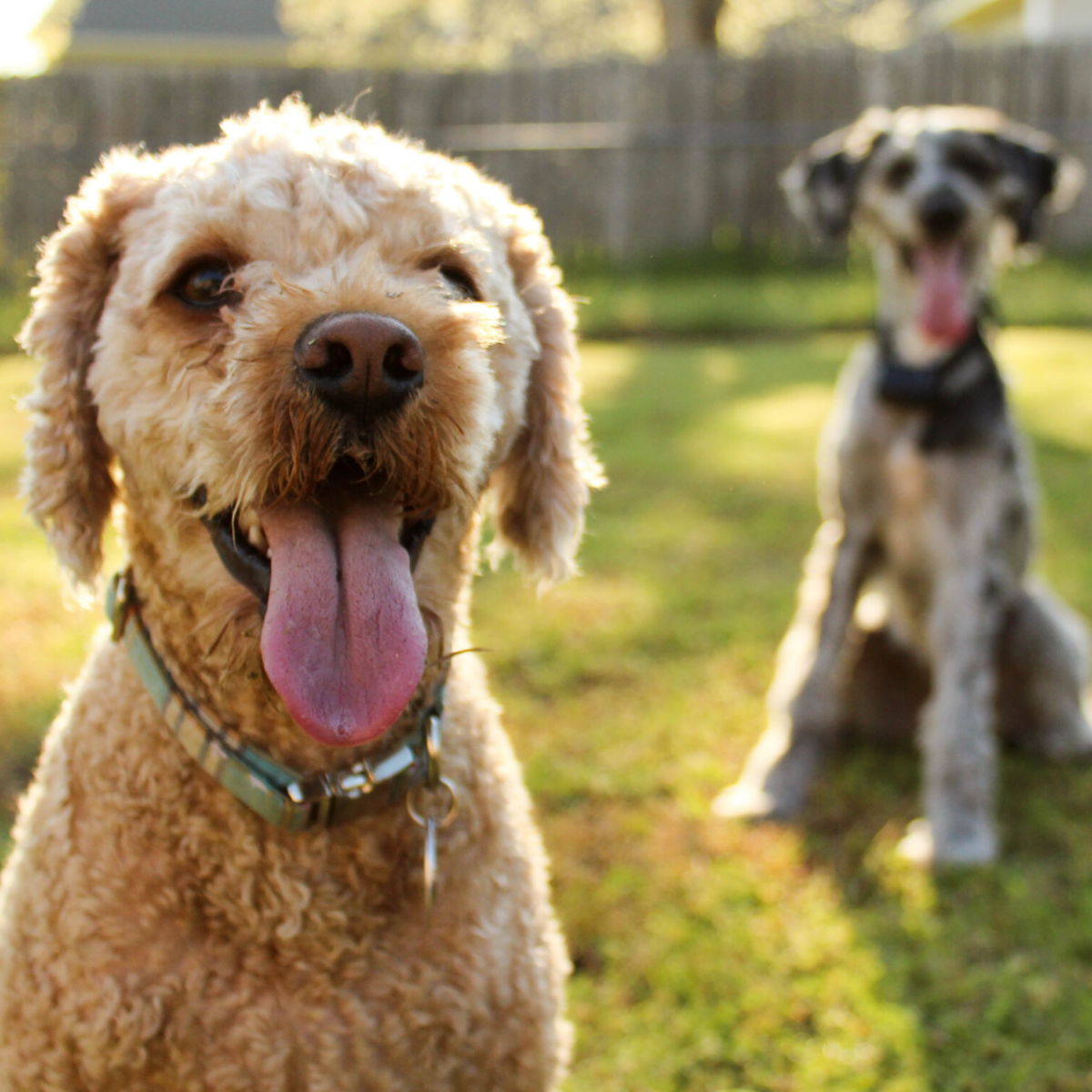 Learn how to prevent fights between your dogs.