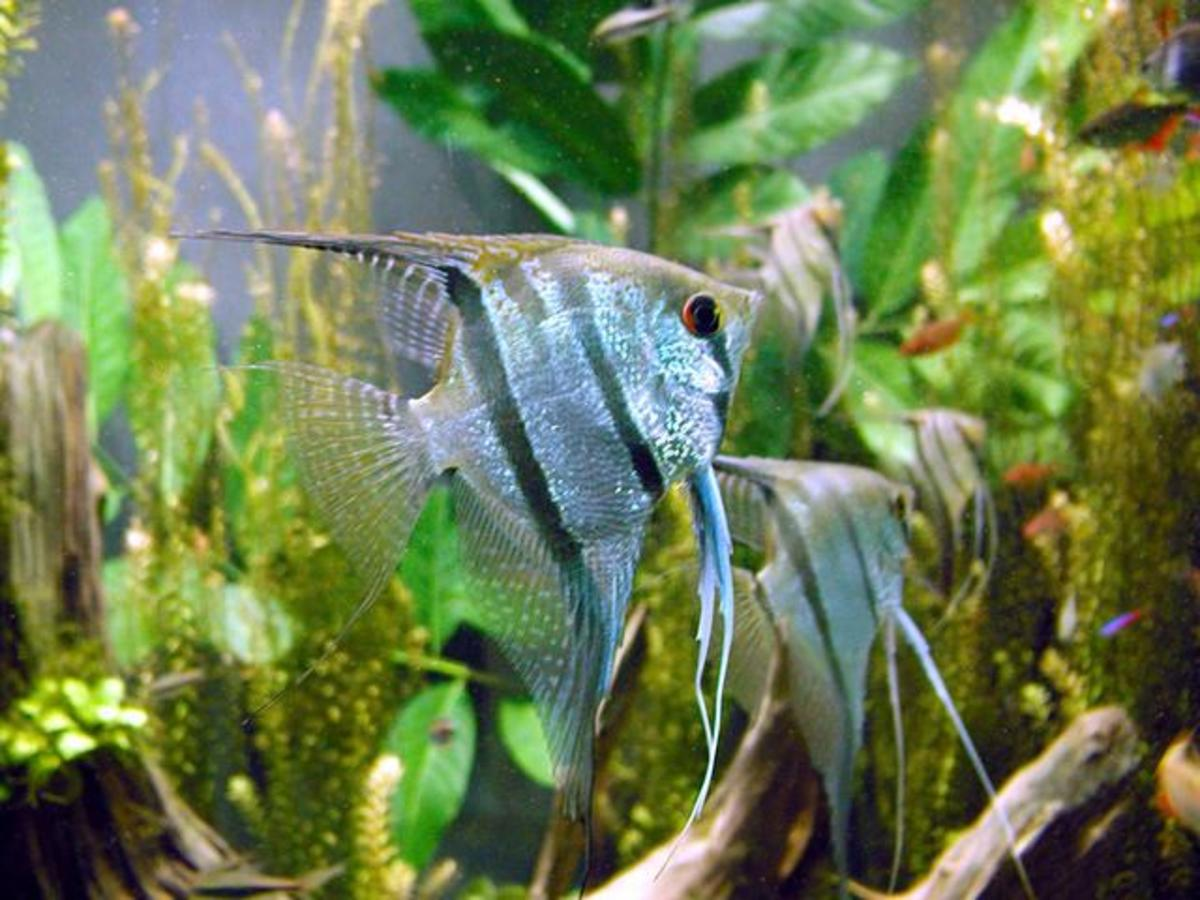 Anglefish make a beautiful addition to a 55-gallon tank.
