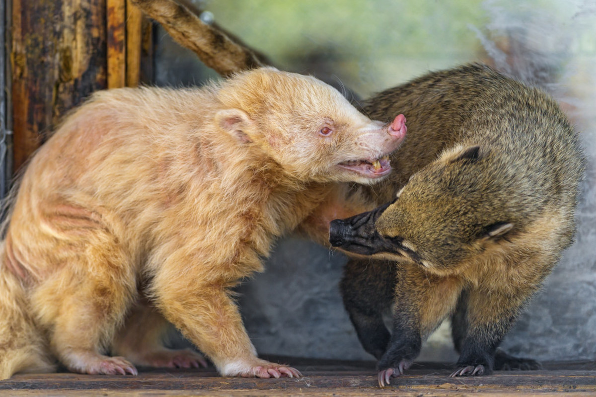Albino and Normal Coati
