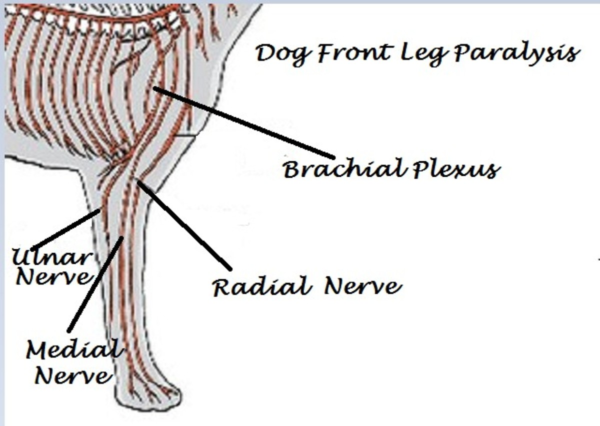 Dog front leg anatomy, dog front leg paralysis