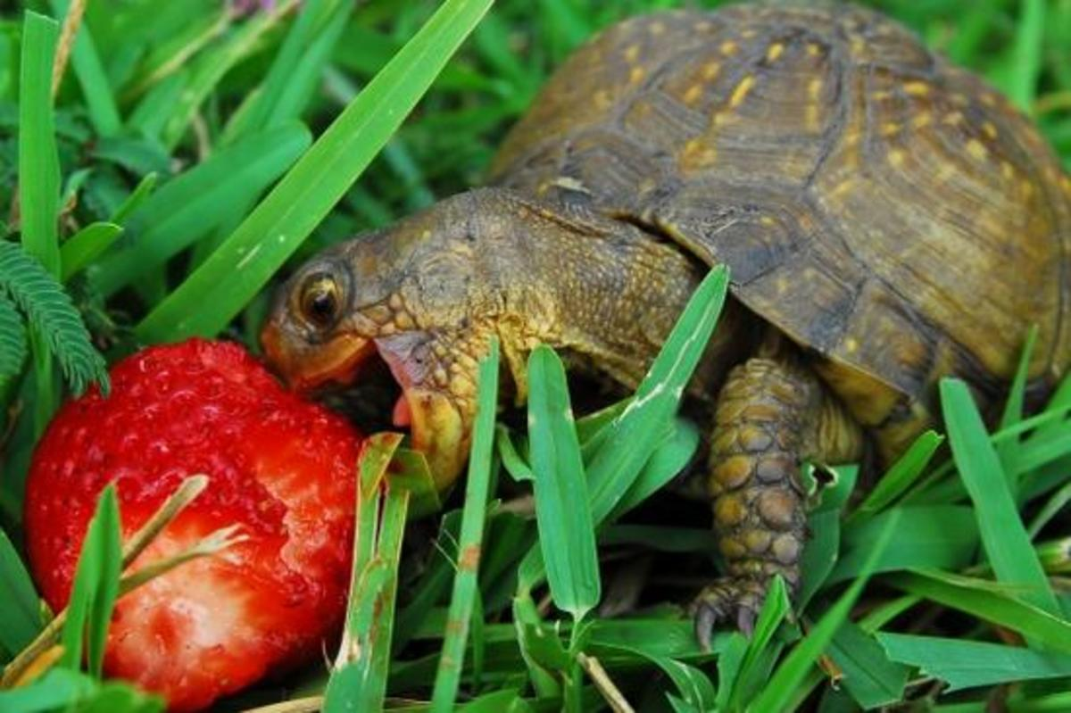 Strawberries are a favorite, but never overdo it with any single food. Variety helps insure nutritional balance.