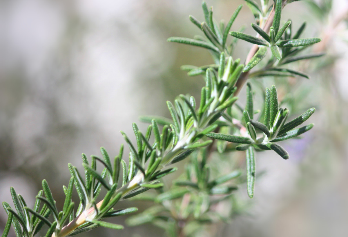 Rosemary is a natural preservative used in Evo Senior Dog Food.