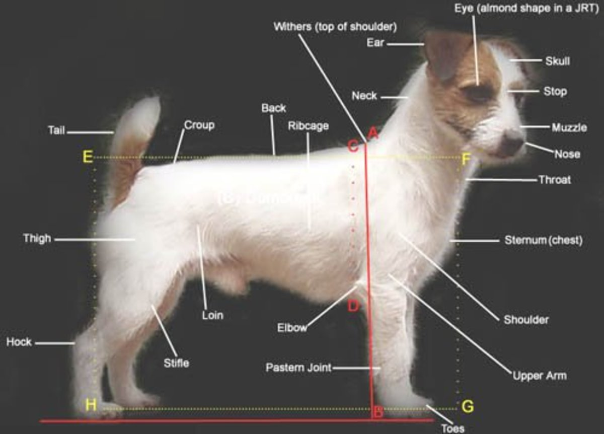 48 common health problems found in jack russell terriers for Jack russel pelo lungo