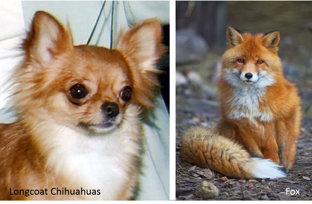 A Longcoat Chihuahua on the left and a fox on the right.