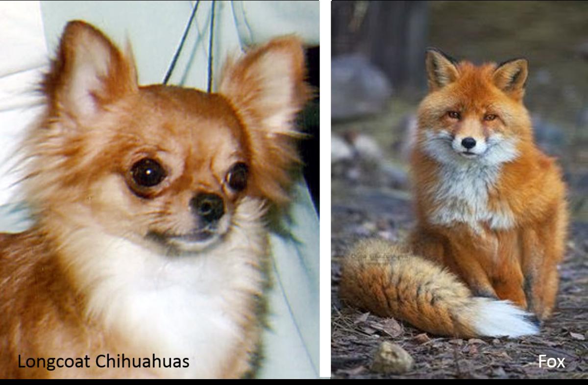 Longcoat Chihuahua vs. Fox: Longcoat Chihuahua on the left and a fox on the right.