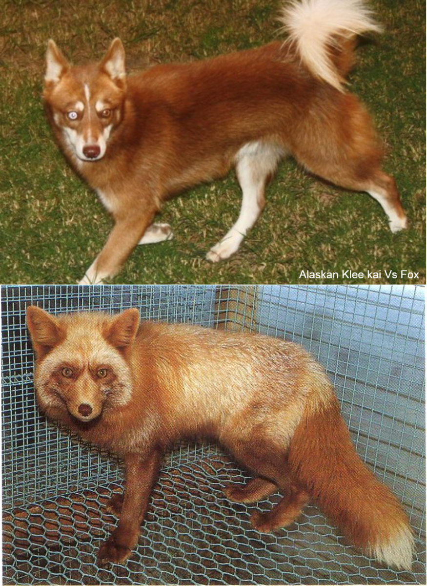 11 Dogs That Look Like A Fox